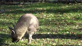 естественно : Brown Hyena (Parahyaena brunnea) walking