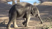 indianin : Indian elephant (Elephas maximus indicus). Cute baby elephant