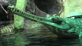 口 : Gavial Indian (Gavialis gangeticus). Gavial crocodile group. Critically Endangered Crocodile. Crocodile green gavial. Wildlife animal. Turtle sitting on crocodile.