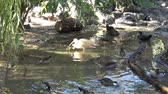 find : Waterfowl birds. Many ducks. Wild ducks. Stock Footage