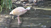 естественно : Beautiful ibis and duck in water. Waterfowl