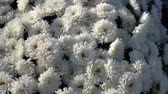krizantem : Autumn Flowers on the Garden. Flowers with frozen water drops of dew in late autumn morning. Stok Video