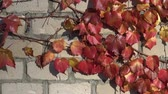 vine plant : Parthenocissus tricuspidata on an ancient brick wall