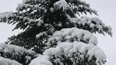 kozalaklı : Winter tree covered with snow. Tree branch covered with snow. Stok Video