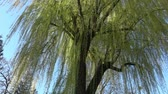 Spring willow branches. Spring willow tree in bloom.