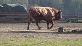 bull : Farm animals. Many brown and white goats in corral.