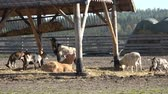 koza : Farm animals. Many brown and white goats in corral.