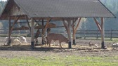 Farm animals. Many brown and white goats in corral.
