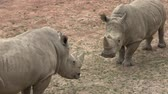 african wildlife : Southern white rhinoceros (Ceratotherium simum simum). Wildlife animal. Critically endangered animal species.