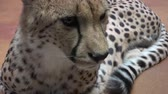 cheetah : Cheetah portrait (Acinonyx jubatus) Stock Footage