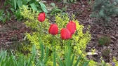 canteiro de flores : Red tulips bloomed on a flower bed in spring. Stock Footage