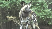 pes : The African wild dog (Lycaon pictus)