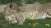 cheetah : Cheetahs in the sand. (Acinonyx jubatus) resting