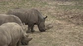 horn : A herd of Rhinoceros eating green grass (Ceratotherium simum simum)  t