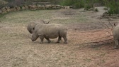 естественно : A herd of Rhinoceros eating green grass (Ceratotherium simum simum)  t