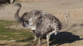 Two ostriches standing (Struthio camelus) brown feathers Wideo