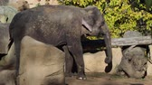 Asiatic elephant (Elephas maximus) eating Wideo
