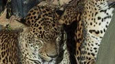 Two sleeping leopards (Panthera pardus)