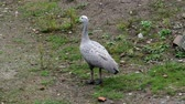 The Cape Barren Goose (Cereopsis novaehollandiae) Wideo
