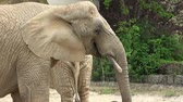 African bush elephant (Loxodonta africana) Wideo