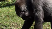 primát : Lowland Gorilla (Gorilla Gorilla gorilla) looking for food on the ground