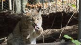 chat sauvage : Eurasian Lynx, portrait of wild cat