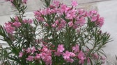 Pink oleander tree in bloom (Nerium oleander) Wideo