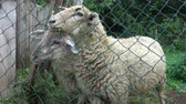 ovce : Two sheep behind the fence