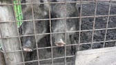 Wild boar (Sus scrofa) .Two pigs. Boar behind the fence