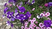 zomerbloemen : Violet petunia petunioideae flowers. Petunias in the garden. Stockvideo