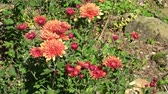 krizantem : Chrysanthemum in outdoor garden Stok Video