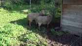 ovce : Two sheep looking at farmland