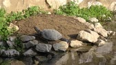 tartaruga : One turtle resting on the rock near the edge of the pond enjoying some sunshine in the afternoon
