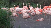 feathered : Flock of pink flamingoes. Phoenicopteriformes