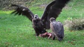 carcasse : Vultures (Aegypius monachus) feeding on the ground.