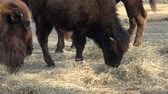 bisonte : Closeup view of bison eating dry grass Filmati Stock