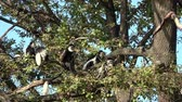 primát : Mantled guereza (Colobus guereza) sitting high on the branch