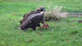 carcasse : A Vulture (Aegypius monachus) feeding on the ground. Vidéos Libres De Droits