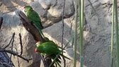 ара : Parrots are sitting on tree branch (Psittacara frontatus). Green parrots. Стоковые видеозаписи