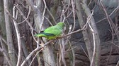 szerzetes : Green Parrot (Myiopsitta monachus) sitting on a tree branch.