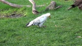 орел : Vulture (Neophron Percnopterus) feeding on the ground
