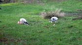 Vulture (Neophron Percnopterus) feeding on the ground