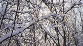 sprookjesbos : Beautiful snowy forest on a bright Sunny winter day. The ice on branches trees