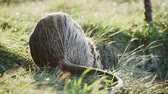 수분이 많은 : Nutria close-up at the lake. Mustache wiggles and sniffs. Blurred background of the river