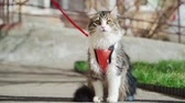 gato : Beautiful fluffy cat on a leash sitting outside in Sunny weather. Walking Pets. Slow motion