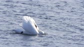 avian : A beautiful white swan is swimming on a windy ocean with its wings up. Choppy waves. Slow motion closeup. Location: Gothenburg, Sweden.