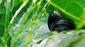 puhatestű : A small snail is attached to a green leaf thats moving in the wind in the summertime June.  Clip 22.