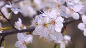cherry blossom branch : Cherry flowers in spring on tree with raindrops
