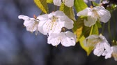 spring : Cherry flowers in spring on tree with raindrops