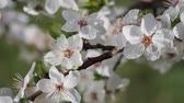 Cherry flowers in spring on tree with raindrops